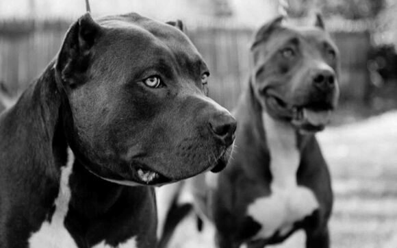 Animals___Dogs_Black_pitbulls_044164_